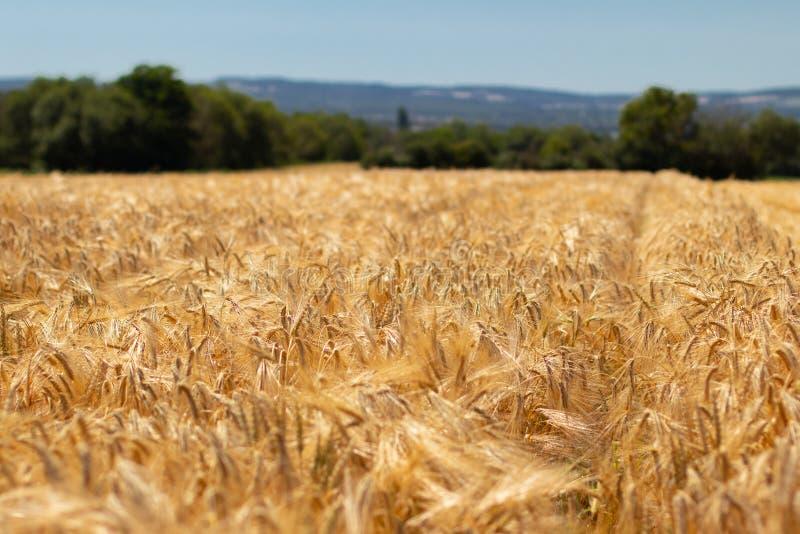 Пшеничное поле, фокус на переднем плане стоковая фотография