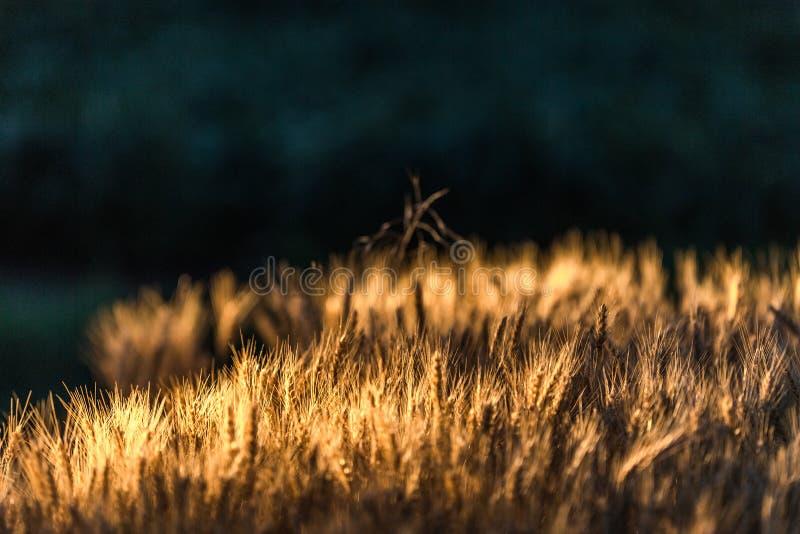 Пшеничное поле в ноче захода солнца стоковая фотография rf