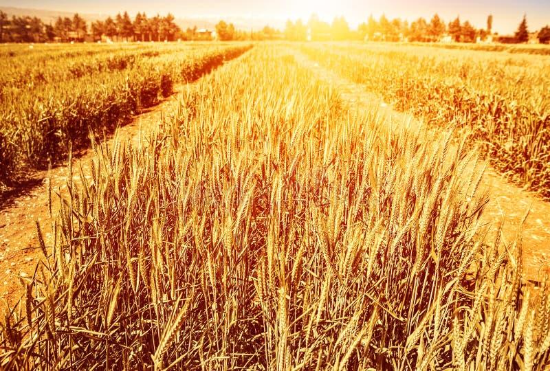 Пшеничное поле в осени стоковые фото