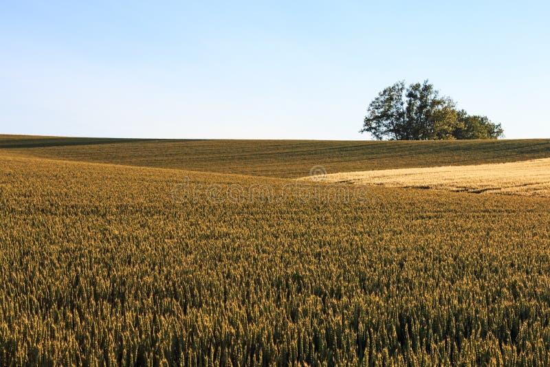 Пшеничное поле в Хоккаидо, Японии стоковые фотографии rf
