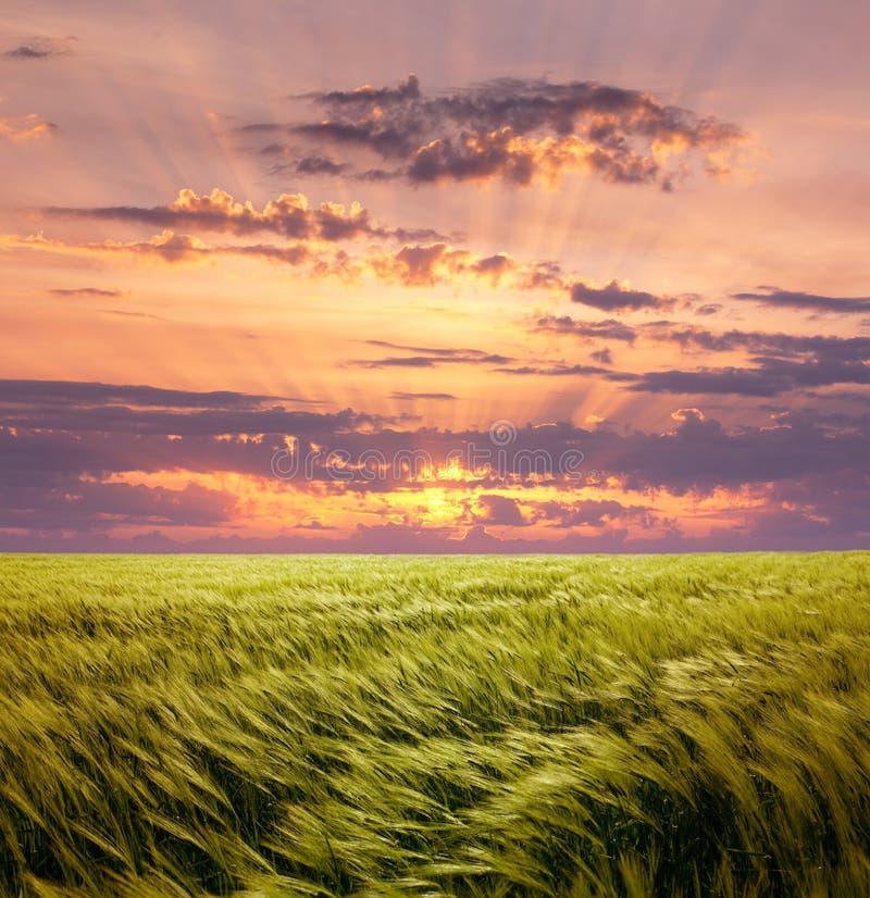 Пшеничное поле жадности и красивое небо захода солнца стоковое фото rf