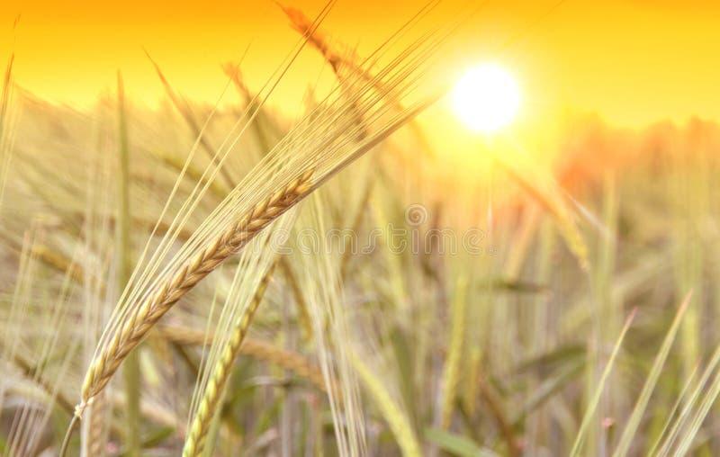 Пшеничное поле и восход солнца стоковые изображения rf