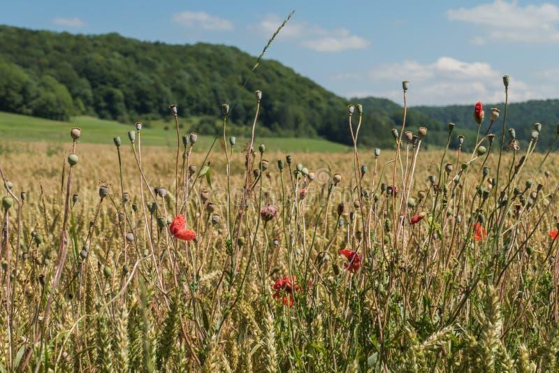 Пшеничное поле на Стихарь стоковое фото rf