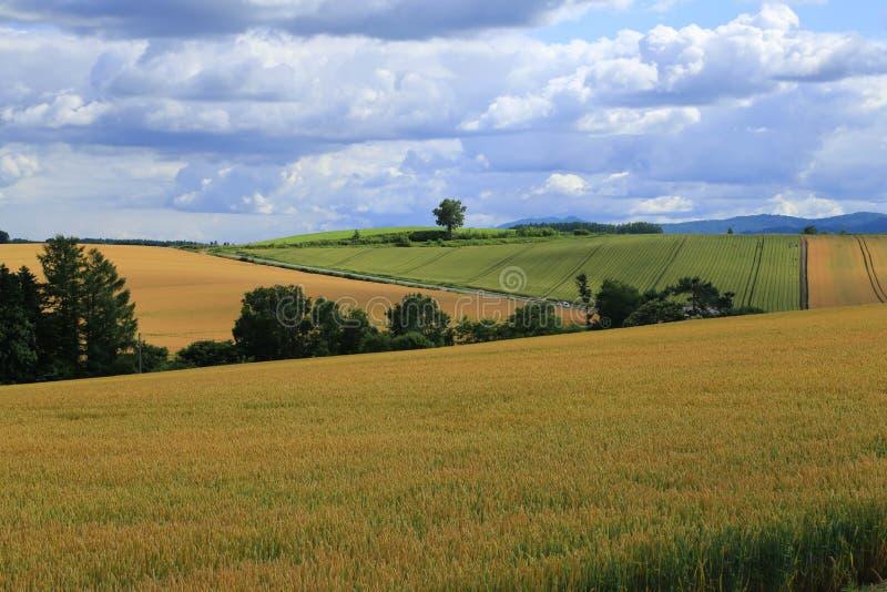 Пшеничное поле на Biei, Хоккаидо стоковые фотографии rf
