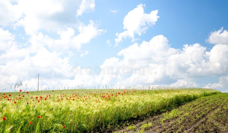 Пшеничное поле с одичалыми маками стоковое изображение rf