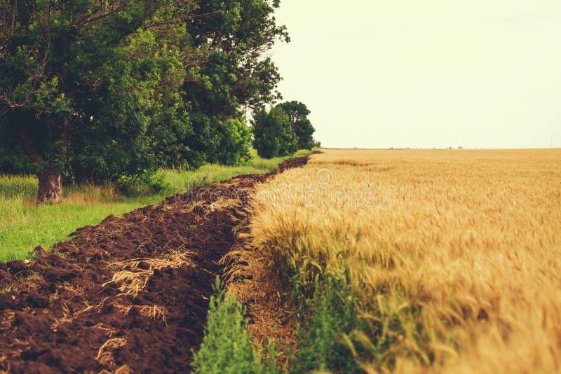 Пшеничное поле с пазом стоковые изображения