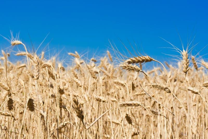 Download Пшеничное поле стоковое изображение. изображение насчитывающей aiders - 37929257