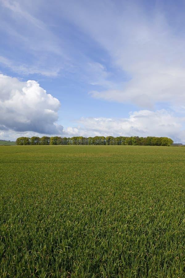 Download Пшеничные поля весеннего времени Стоковое Изображение - изображение насчитывающей роща, полесья: 40578733