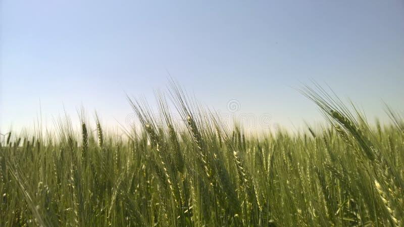 Пшеничные поля стоковые изображения rf