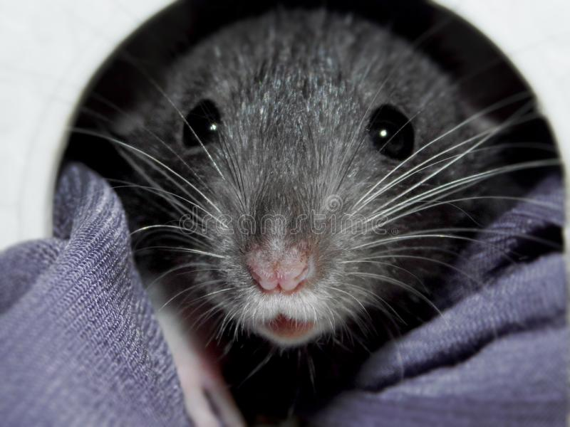 Пытливая крыса Dumbo младенца стоковые изображения