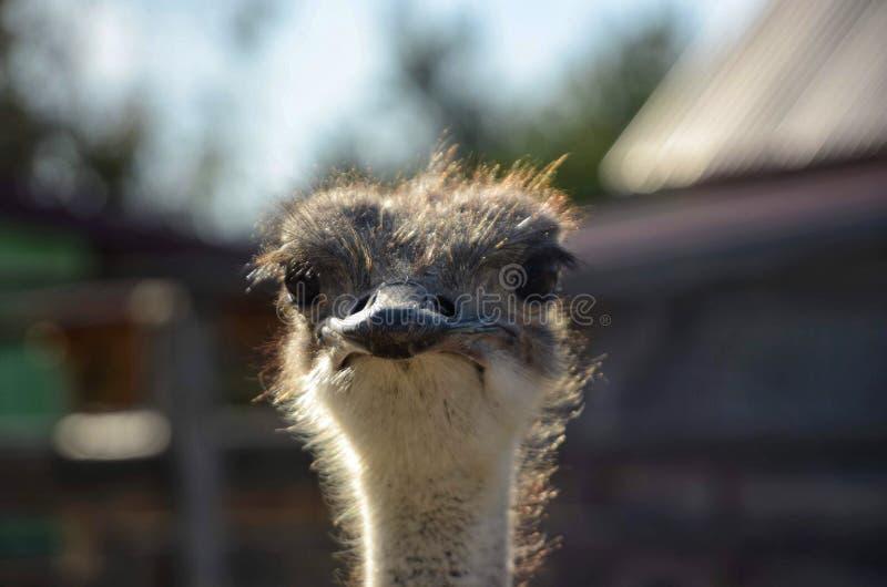 Пытливый африканский страус стоковые фотографии rf