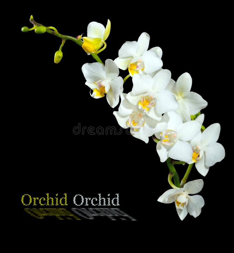 Пышная, белая орхидея Изолировано на черной предпосылке стоковое фото rf