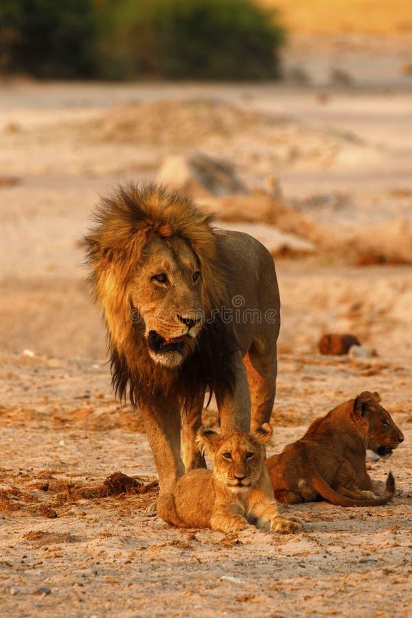 Пышная гордость папы львов с новичками стоковое фото