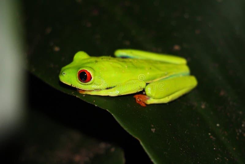 Пышная Красно-наблюданная древесная лягушка Matagalpa Никарагуа стоковые изображения rf