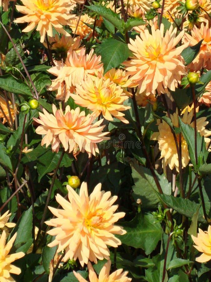 Пышные желт-розовые георгины в саде стоковая фотография rf