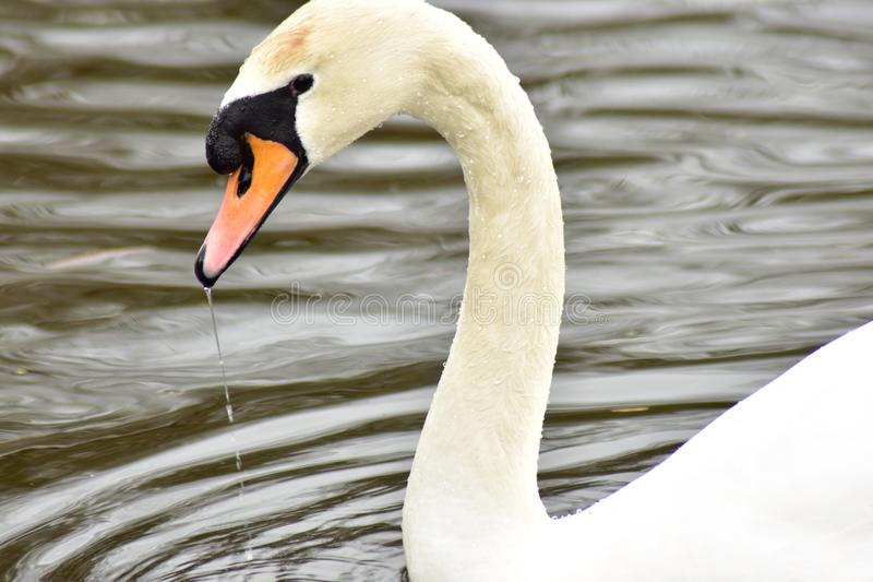 Пышный белый лебедь в пруде стоковое фото rf