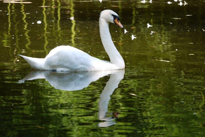 Пышный белый лебедь грациозно переплетает свою шею плавая на поверхность воды озера восхищая свое отражение стоковое изображение