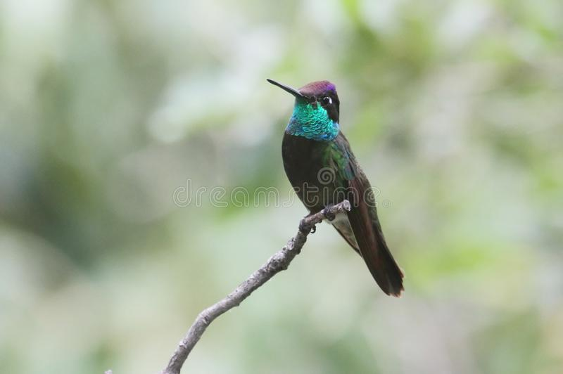 Пышный колибри (fulgens Eugenes) стоковая фотография rf