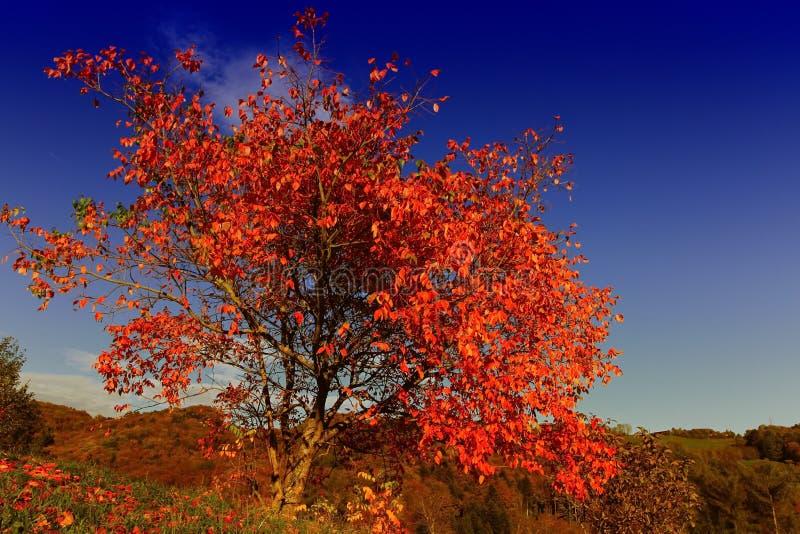 Пышный красный цвет дерева стоковое фото rf