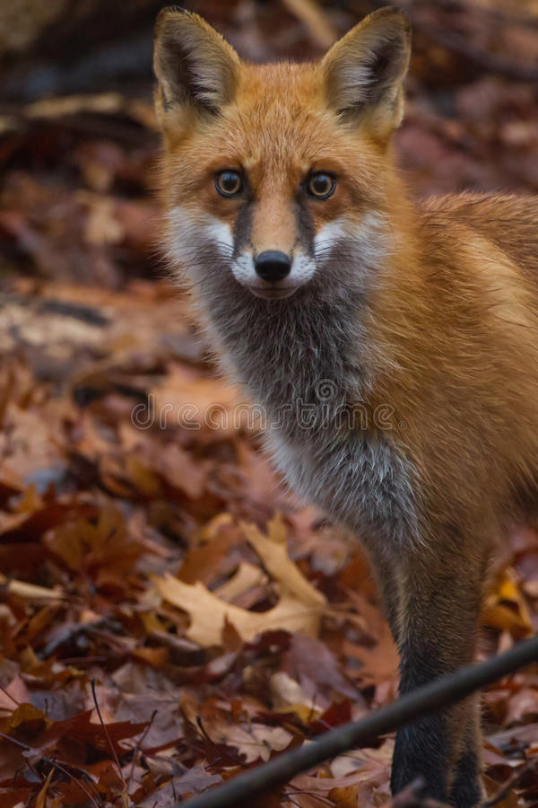 Пэр Fox стоковые фото