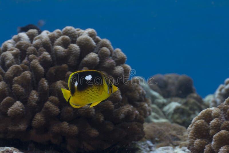 пятно butterflyfish 4 стоковое фото