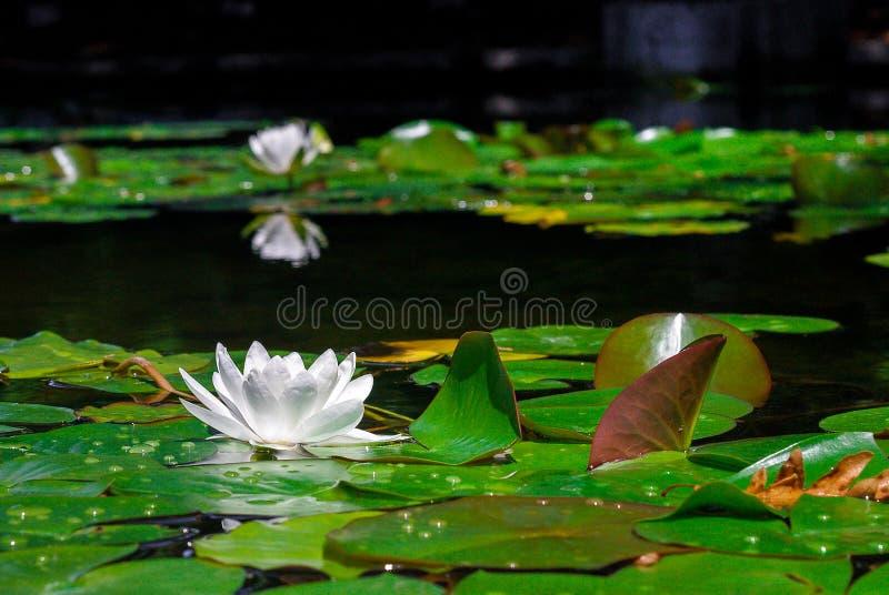 Плавать лилии воды плавая стоковые изображения rf