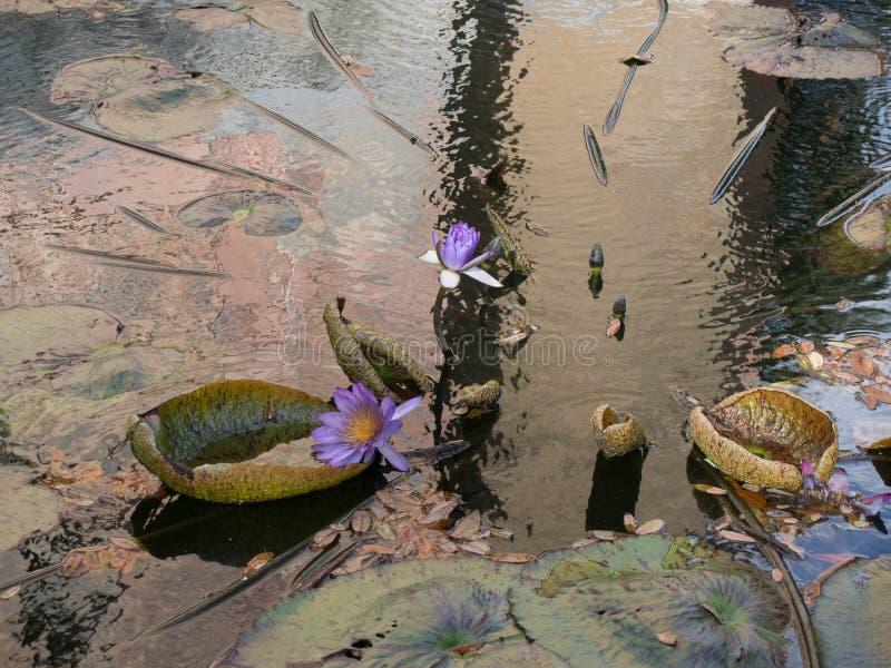 Плавая лилии воды стоковые изображения rf