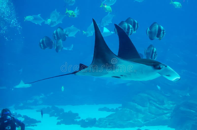 плавая луч manta под водой стоковое изображение
