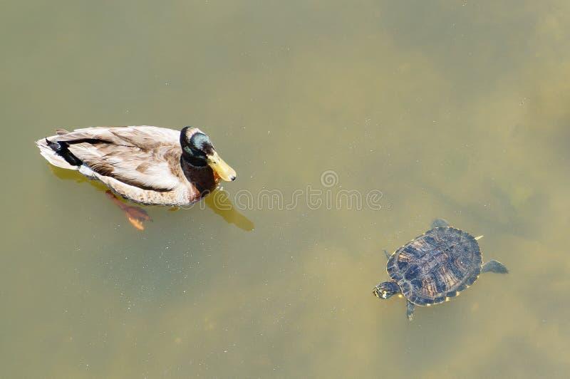 Плавая Флорида красно-bellied cooter (черепаха) и испещряла утку стоковые изображения rf