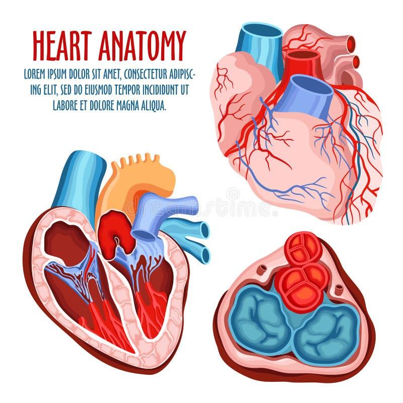 Плакат структуры, медицинских и анатомии сердца иллюстрация штока