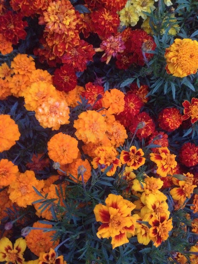 пламенистые цветки стоковая фотография rf