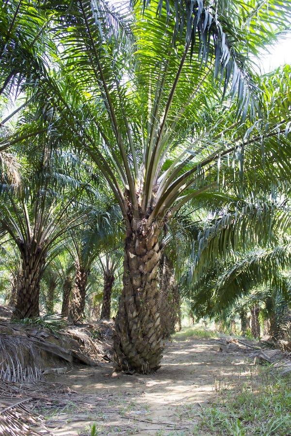 Плантации дерева пальмового масла стоковые фотографии rf