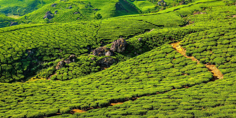 Плантации зеленого чая в Munnar, Керале, Индии стоковые фото