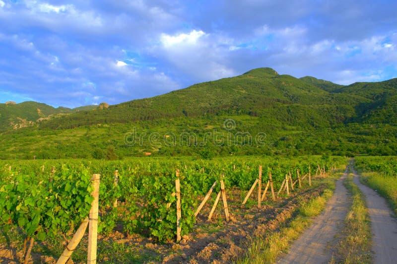 Плантации лозы в предгорьях горы стоковые фотографии rf