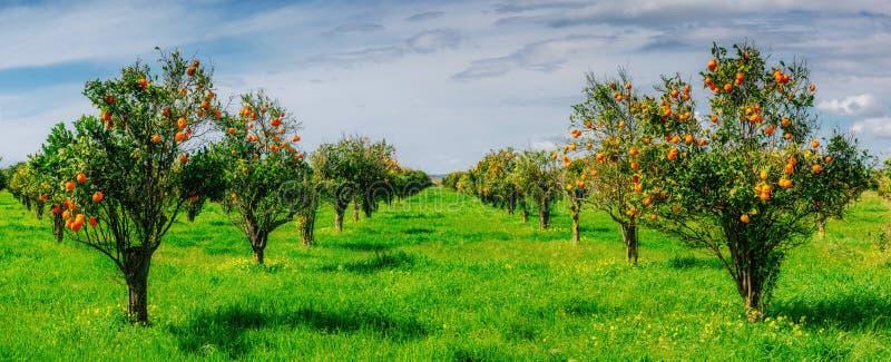 Плантации оранжевых деревьев стоковое фото rf