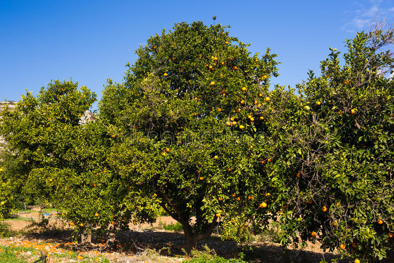 Плантации оранжевых деревьев стоковое изображение rf