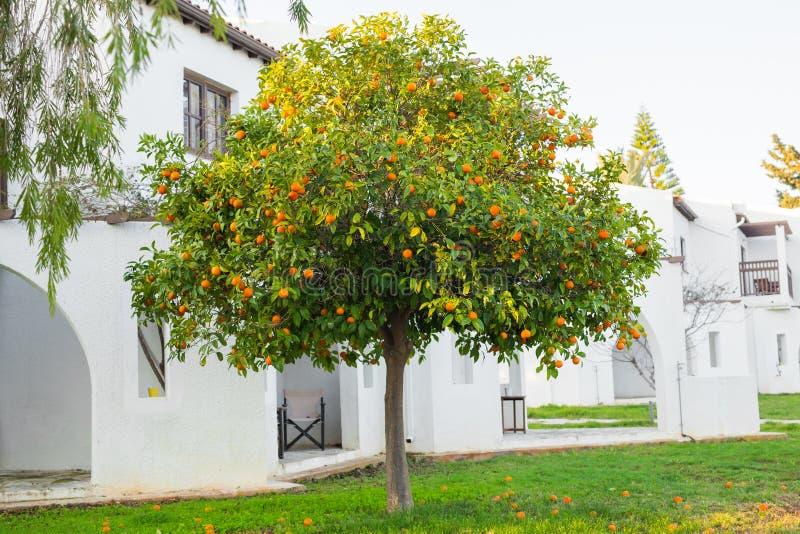 Плантации оранжевых деревьев стоковые фотографии rf