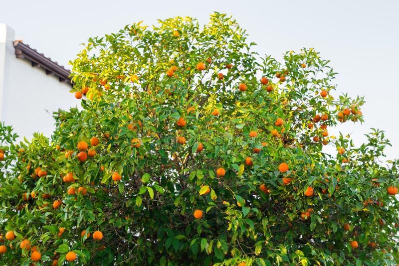 Плантации оранжевых деревьев стоковая фотография
