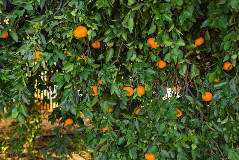 Плантации оранжевых деревьев стоковые фото