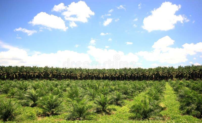 Плантации пальмового масла стоковые фотографии rf