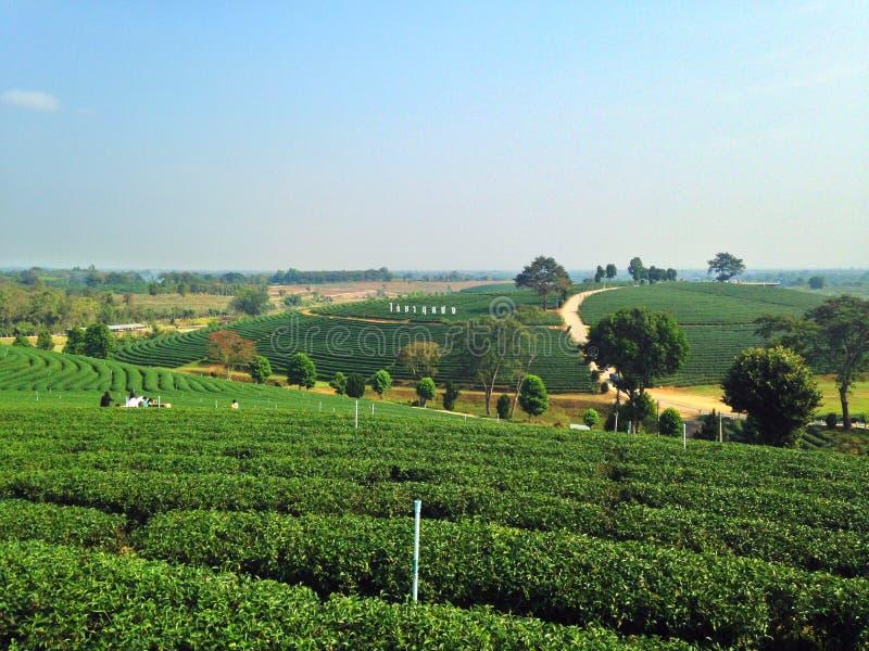 Плантации чая в Chiang Rai стоковая фотография