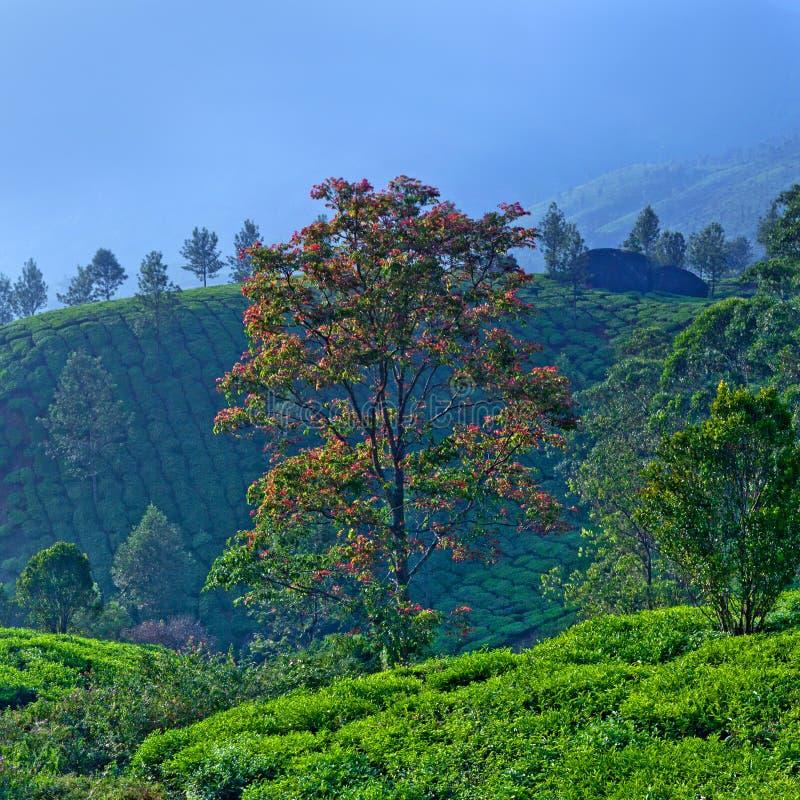Плантации чая в Munnar, Керале, южной Индии стоковые изображения
