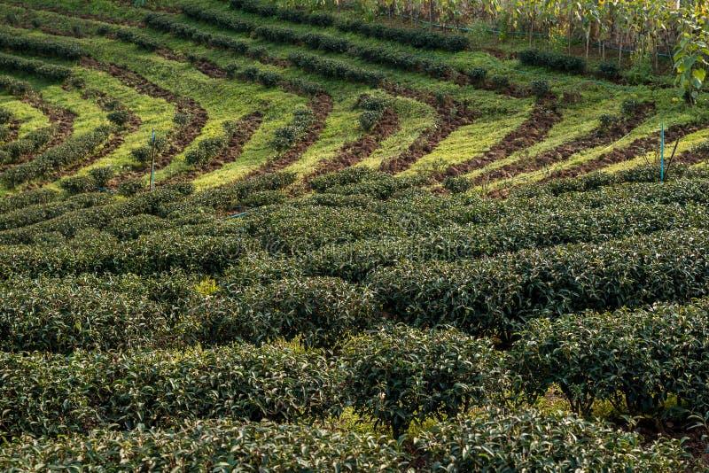 Плантации чая на заходе солнца стоковая фотография