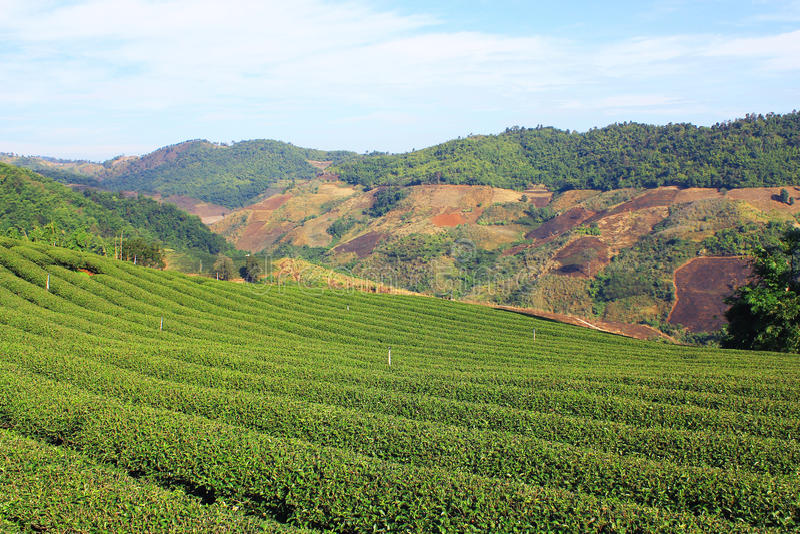 Плантации чая на Doi Mae Salong стоковое фото rf