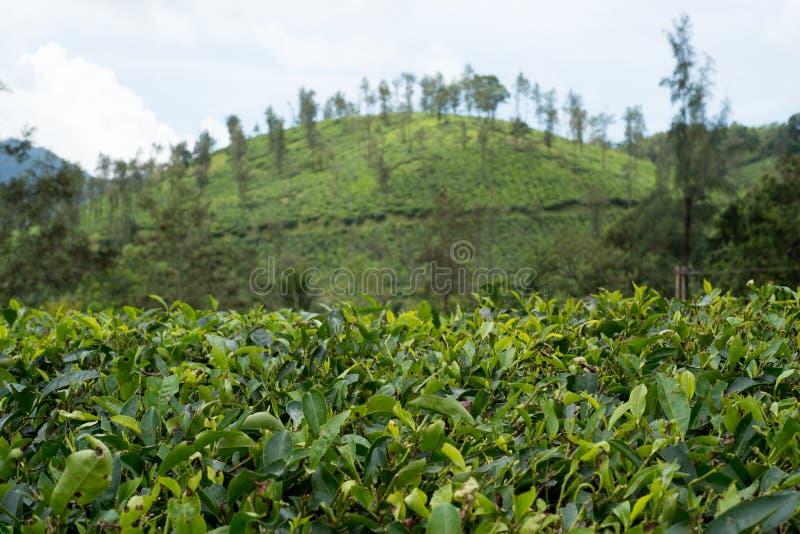 Плантации чая Wayanad стоковые фотографии rf