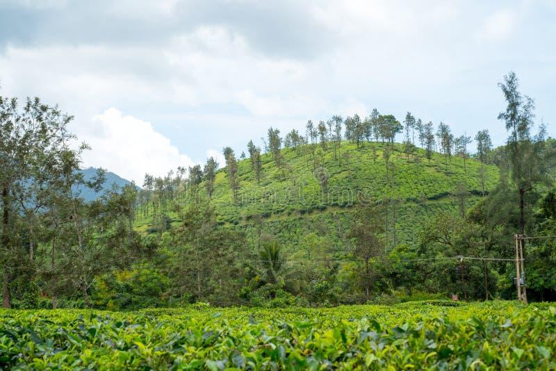 Плантации чая Wayanad стоковое изображение rf