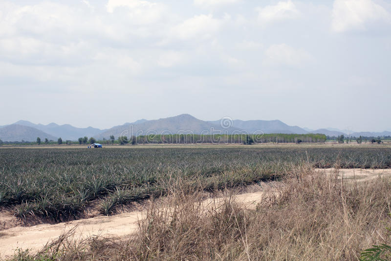 Плантация ананаса стоковые фото