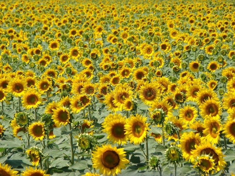 Плантация желтых солнцецветов стоковое изображение
