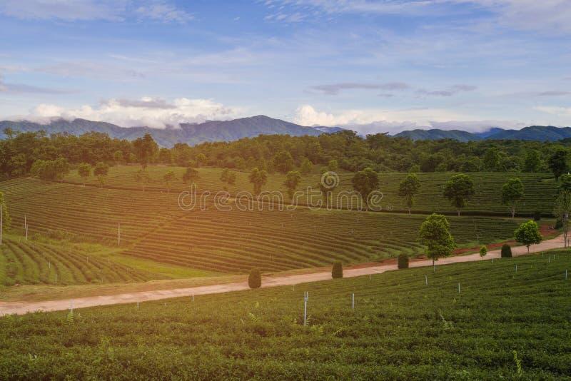 Плантация зеленого чая над холмом высоты с предпосылкой горы стоковое фото rf
