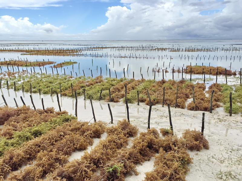 Плантация морской водоросли стоковые изображения